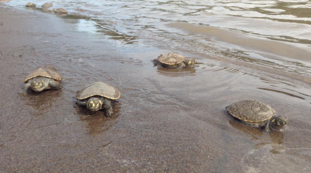 Naturskyddsvolontärer släpper sköldpaddsungar fria i en älv i Amazonas regnskog i Peru.